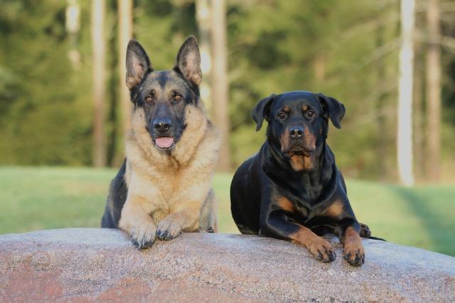 rotvajler a německý ovčák